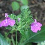 Sarcopera sessiliflora