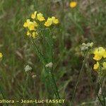 Linaria viscosa