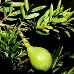 Retrophyllum comptonii