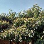 Homalanthus populifolius