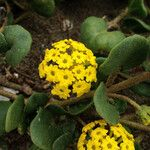 Abronia latifolia