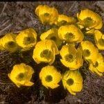 Ranunculus adoneus