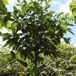 Garcinia mangostana Хабит