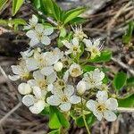 Prunus mahaleb Flor