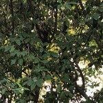 Cotoneaster turbinatus