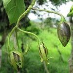 Solanum splendens