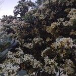 Pittosporum tobira Flower