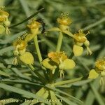 Euphorbia lamarckii