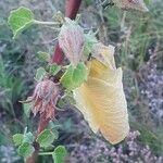 Hibiscus sparsiaculeatus