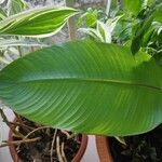 Heliconia stricta List