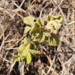 Lannea triphylla Leaf