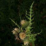 Cirsium x variegatum