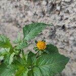 Bidens pilosa Flower
