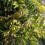 Murraya koenigii Leaf