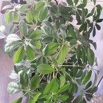Schefflera arboricola List