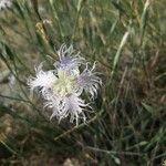Dianthus broteri