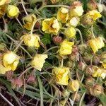 Helianthemum origanifolium