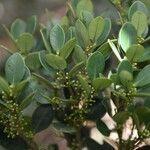 Eugenia cerrocacaoensis