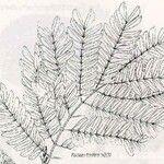 Archidendropsis lentiscifolia