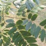 Tamarindus indica Leaf