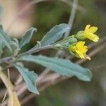 Aurinia petraea