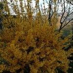 Forsythia viridissima