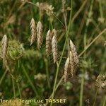 Bromus squarrosus