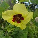 Hibiscus vitifolius