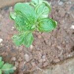 Ocimum basilicum Leaf