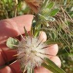 Centaurea eriophora