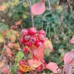 Viburnum lantana Fruit
