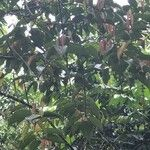 Hopea pubescens