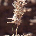 Lasiurus scindicus