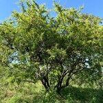 Searsia pyroides Bark