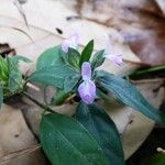 Dicliptera chinensis