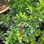 Aglaia odorata Leaf