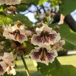 Catalpa bignonioides Flower