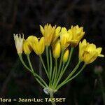 Allium scorzonerifolium