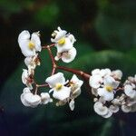 Rinorea deflexiflora