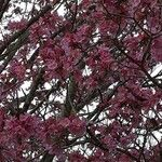 Tabebuia impetiginosa Flower
