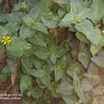 Calyptocarpus