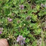 Thymus pannonicus