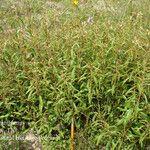 Croton argyranthemus