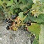 Rubus caesius Frukt