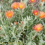 Malephora purpureo-crocea