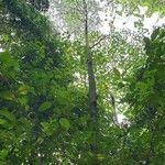 Koompassia malaccensis