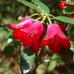 Rhododendron cerasinum