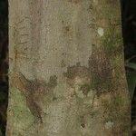 Licania latifolia