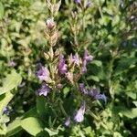 Salvia officinalis 花