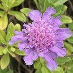 Lomelosia cretica